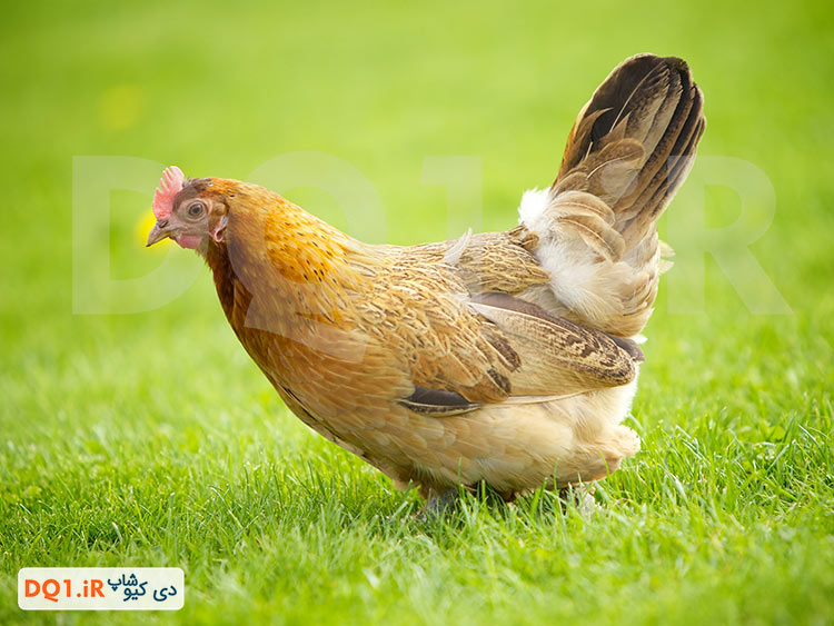 مرغ و طیور
