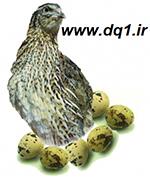 بلدرچین تخمگذار