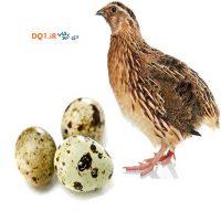 تخم نطفه دار بلدرچین ژاپنی