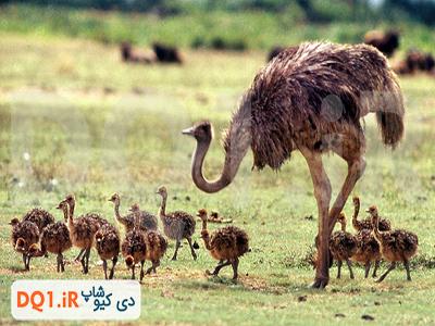 شترمرغ مولد