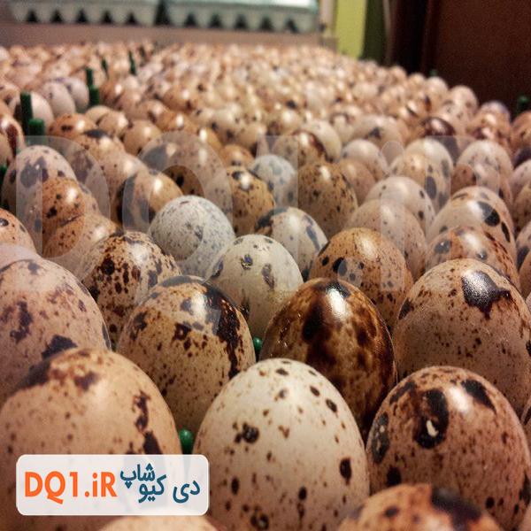 تخم بلدرچین نطفه دار