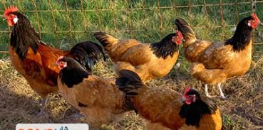 پرورش جوجه مرغ