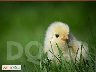 مدیریت بهداشتی تخم مرغ های هچ شده