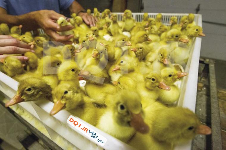 مراحل رشد جنین اردک