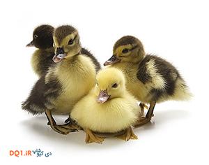 مراحل رشد جنین اردک مک مکی