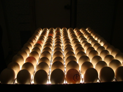 کندلینگ کردن تخم نطفه دار غاز | خرید ماشین جوجه کشی