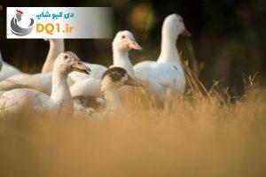 پرورش و جوجه کشی اردک