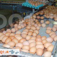 فروش تخم نطفه دار دورگه