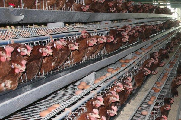 کیفیت-پوسته-تخم-مرغ-در-اثر-تنش-گرمایی