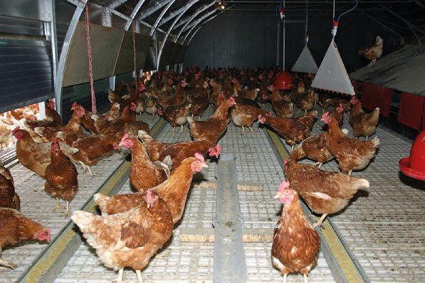 سالن نگهداری مرغ تخمگذار