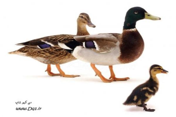 پرورش سنتی اردک
