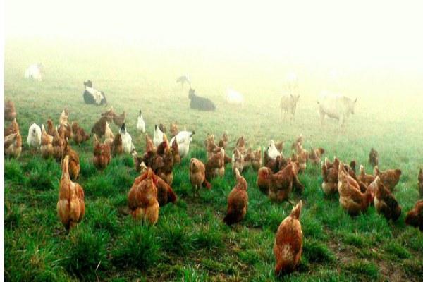 پرورش مرغ تخمگذار
