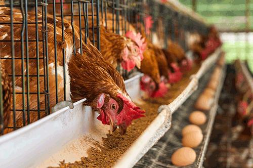 اهمیت استفاده از آنزیم ها در جیره پرندگان