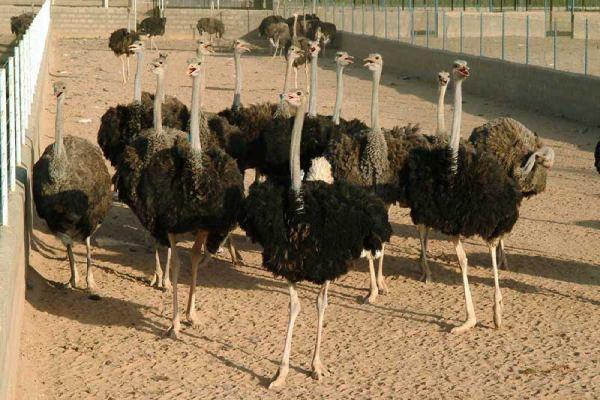 رفتار های جفت گیری در شتر مرغ