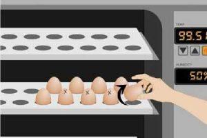 جوجه کشی تخم مرغ