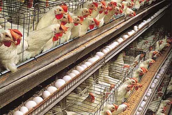 تغذیه مناسب برای مرغ تخم گذار