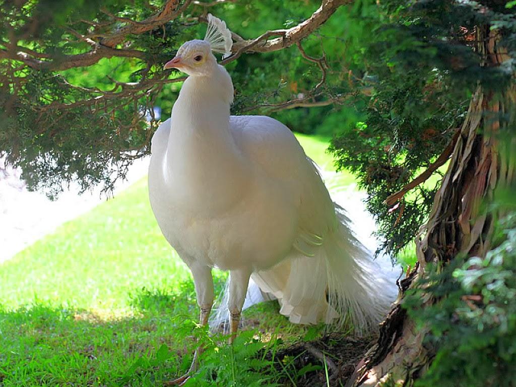 جوجه کشی طاووس