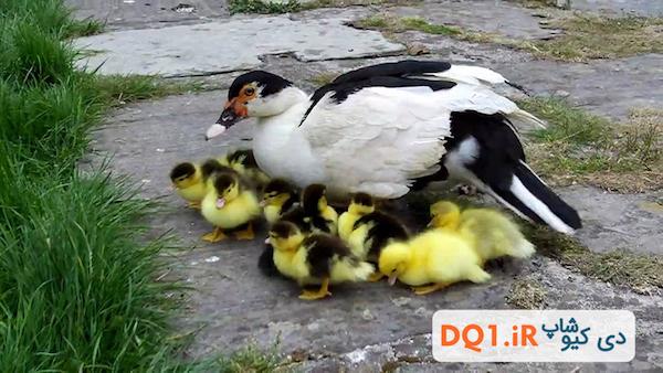 دانستنیهای اردک