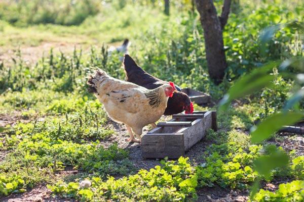 پرورش مرغ بدون آنتی بیوتیک