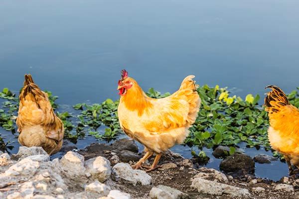 پیشگیری و درمان بیماری های مرغ
