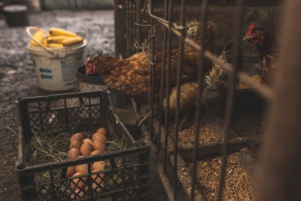 پرورش مرغ در خانه